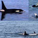 killer whales at Stick Camp Canada