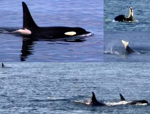 Killer whales near Sti k Camp Canada